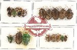 Scientific lot no. 413 Heteroptera (Pentatomidae) (21 pcs - 3 pcs A2)