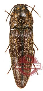 Elateridae sp. 7 (2 pcs)