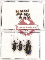 Scientific lot no. 406 Heteroptera (24 pcs)