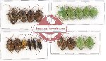 Scientific lot no. 412 Heteroptera (19 pcs - 5 pcs A2)