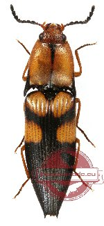 Elateridae sp. 22 (10 pcs)