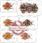 Scientific lot no. 420 Heteroptera (Scutellarinae) (8 pcs - 3 pcs A2)