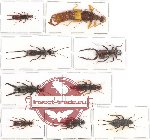 Scientific lot no. 32 Dermaptera (9 pcs A, A-, A2)