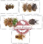 Scientific lot no. 421 Heteroptera (Pentatomidae) (11 pcs - 6 pcs A2)