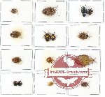 Scientific lot no. 417 Heteroptera (Pentatomidae) (15 pcs A, A-, A2)