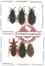 Scientific lot no. 424 Heteroptera (6 pcs)