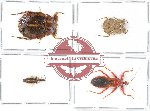 Scientific lot no. 423 Heteroptera (4 pcs)