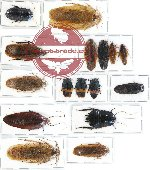 Scientific lot no. 13 Blattodea (16 pcs A, A-, A2)