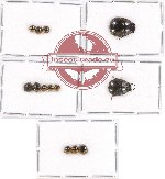 Scientific lot no. 422 Heteroptera (Pentatomidae) (13 pcs)