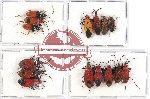 Scientific lot no. 436 Heteroptera (15 pcs A, A-, A2)