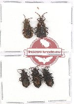 Scientific lot no. 428 Heteroptera (Aradiidae) (5 pcs)