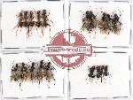 Scientific lot no. 7 Formicidae (20 pcs)