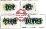 Scientific lot no. 434 Heteroptera (Scutellarinae) (13 pcs A, A-, A2)