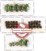 Scientific lot no. 437 Heteroptera (Pentatomidae) (40 pcs - 5 pcs A2)