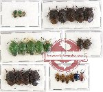 Scientific lot no. 433 Heteroptera (25 pcs A, A-, A2)