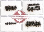 Scientific lot no. 374 Heteroptera (Cydnidae) (35 pcs)