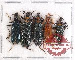 Scientific lot no. 17 Lagriidae (5 pcs A2)