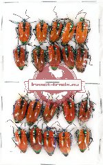 Scientific lot no. 413A Heteroptera (Scutellarinae) (20 pcs A, A-, A2)