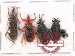 Scientific lot no. 426 Heteroptera (5 pcs A2)