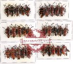 Scientific lot no. 379 Heteroptera (Canthao spp.) (30 pcs A, A-, A2)