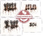 Scientific lot no. 9 Formicidae (20 pcs)