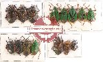 Scientific lot no. 447 Heteroptera (15 pcs A, A-, A2)