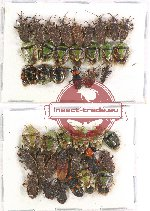 Scientific lot no. 376 Heteroptera (41 pcs A-, A2)