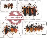 Scientific lot no. 373 Heteroptera (15 pcs - 3 pcs A2)