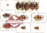 Scientific lot no. 416 Heteroptera (12 pcs A, A-, A2)