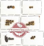 Scientific lot no. 365 Heteroptera (mainly Pentatomidae) (29 pcs A, A-, A2)