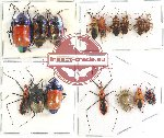Scientific lot no. 419 Heteroptera (19 pcs - 3 pcs A2)