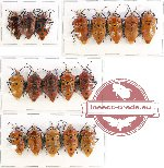 Scientific lot no. 446 Heteroptera (18 pcs)