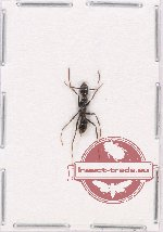 Formicidae sp. 66 (10 pcs)