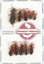 Scientific lot no. 468 Heteroptera (Reduviidae) (10 pcs A2)