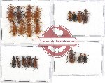Scientific lot no. 1AA Lagriidae (21 pcs A, A-, A2)