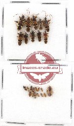 Scientific lot no. 490 Heteroptera (24 pcs)