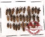 Scientific lot no. 495 Heteroptera (30 pcs)