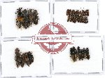 Scientific lot no. 105 Staphylinidae (36 pcs)