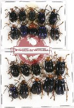 Scientific lot no. 211A Chrysomelidae (20 pcs)