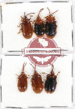 Scientific lot no. 212A Chrysomelidae (6 pcs A-, A2)
