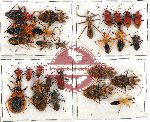 Scientific lot no. 493 Heteroptera (27 pcs)