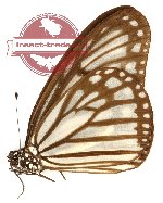 Ideopsis hewitsoni (A-)