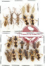 Scientific lot no. 558 Heteroptera (20 pcs)