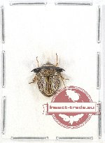 Scientific lot no. 555 Heteroptera (1 pc A2)