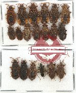 Scientific lot no. 562 Heteroptera (19 pcs)