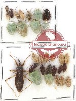 Scientific lot no. 559 Heteroptera (30 pcs)