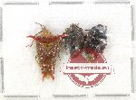 Scientific lot no. 556 Heteroptera (3 pcs A2)