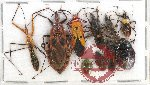 Scientific lot no. 565 Heteroptera (10 pcs)