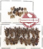 Scientific lot no. 566 Heteroptera (39 pcs)
