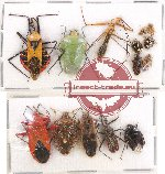 Scientific lot no. 564 Heteroptera (14 pcs)